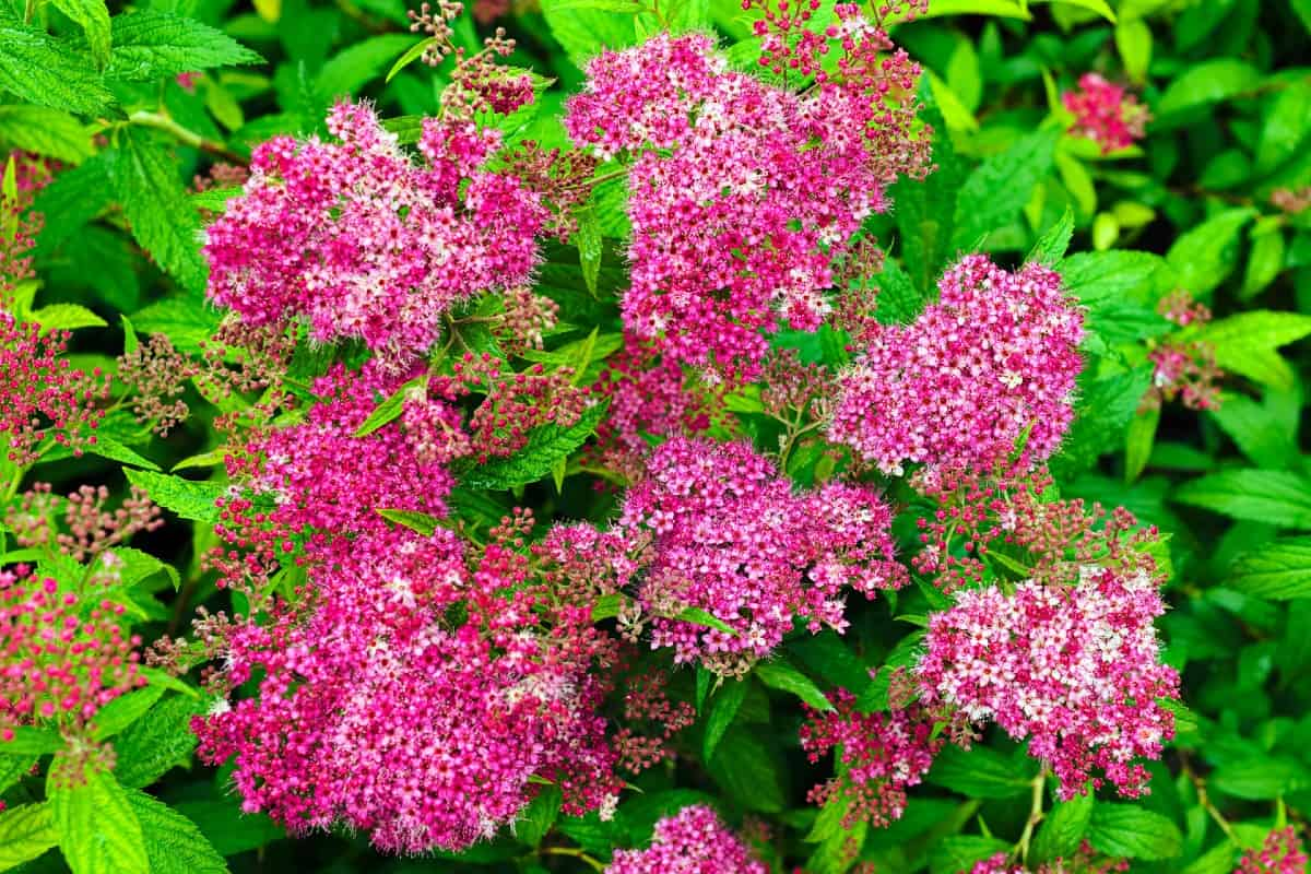 spirea is a hardy shrub with attractive foliage and flowers