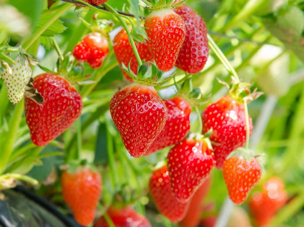 you won't find strawberries on trees but they are easy to grow anyway