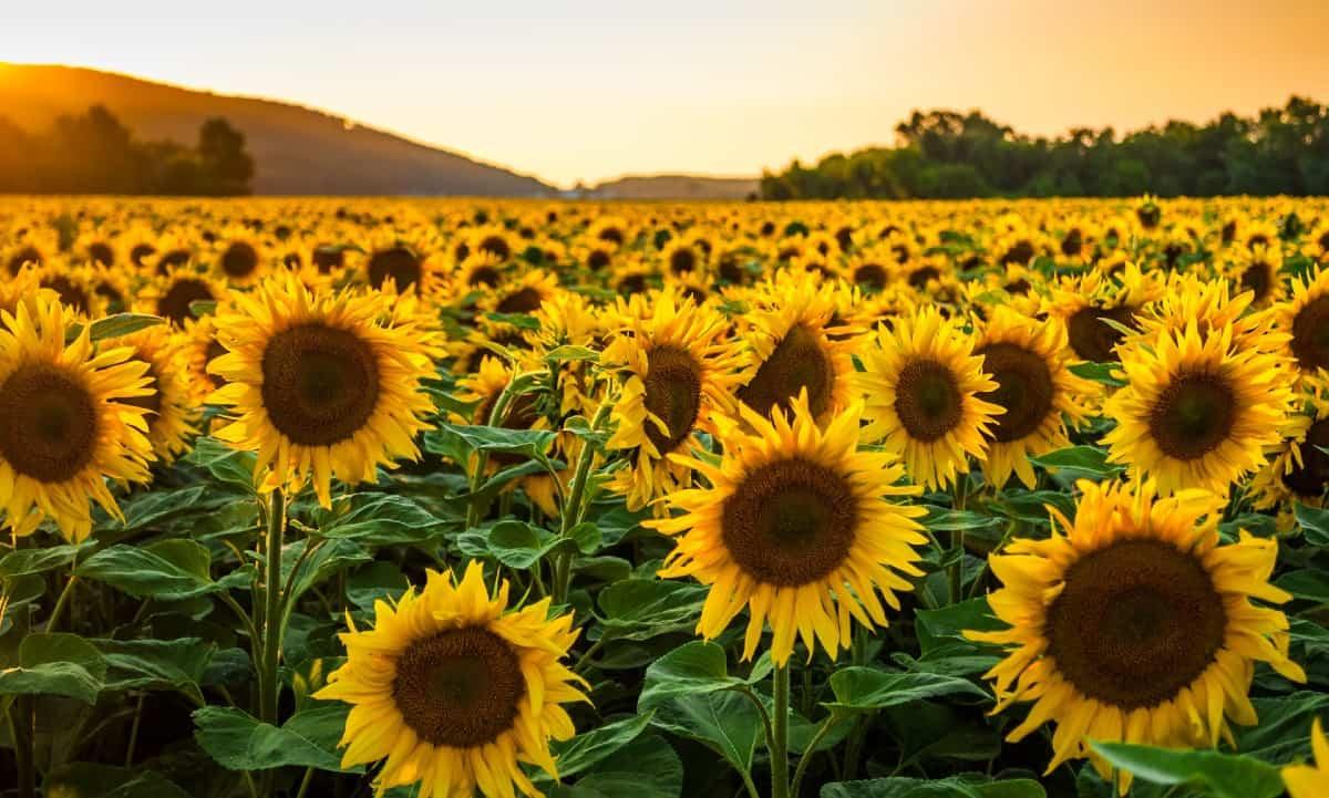 sunflowers turn toward the sun as it moves