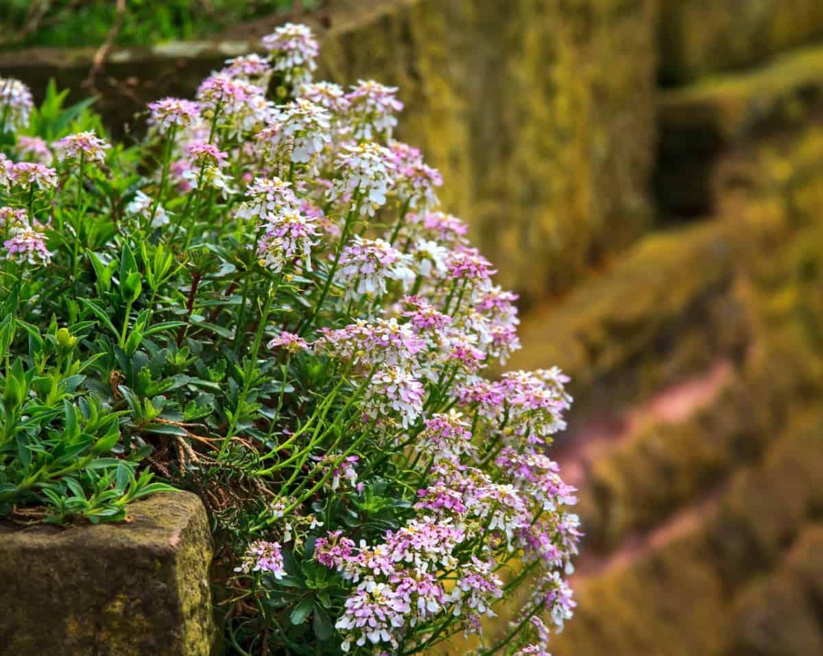 sweet alyssum is a drought-resistant hanging basket flower