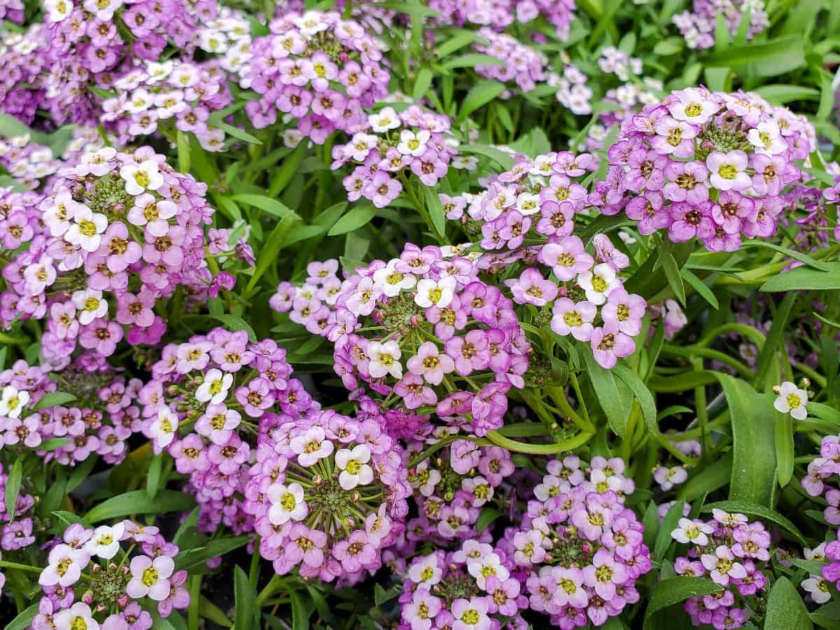 sweet alyssum sprouts small plants with tiny flowers from their seeds