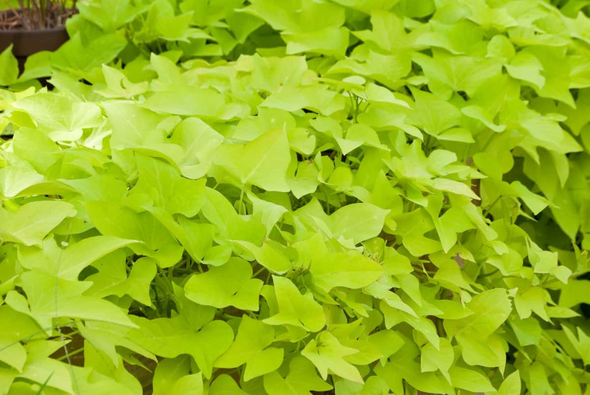 sweet potato vine is known for its foliage rather than its flowers