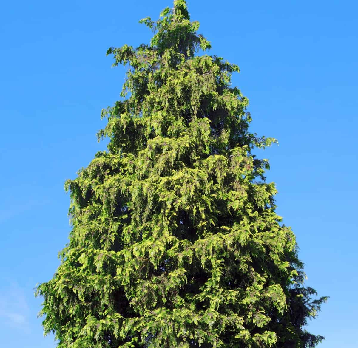 The thuja green giant is drought-tolerant and low-maintenance.