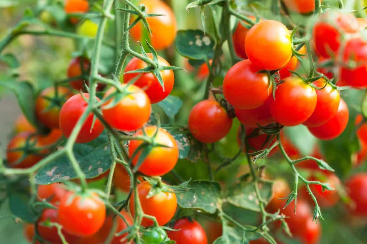 grow tomatoes easily in full sun