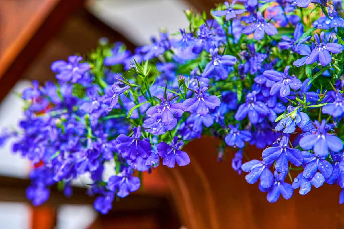 trailing lobelia needs a lot of water to thrive