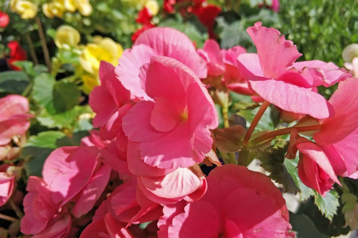 tuberous begonias are ideal for hanging baskets