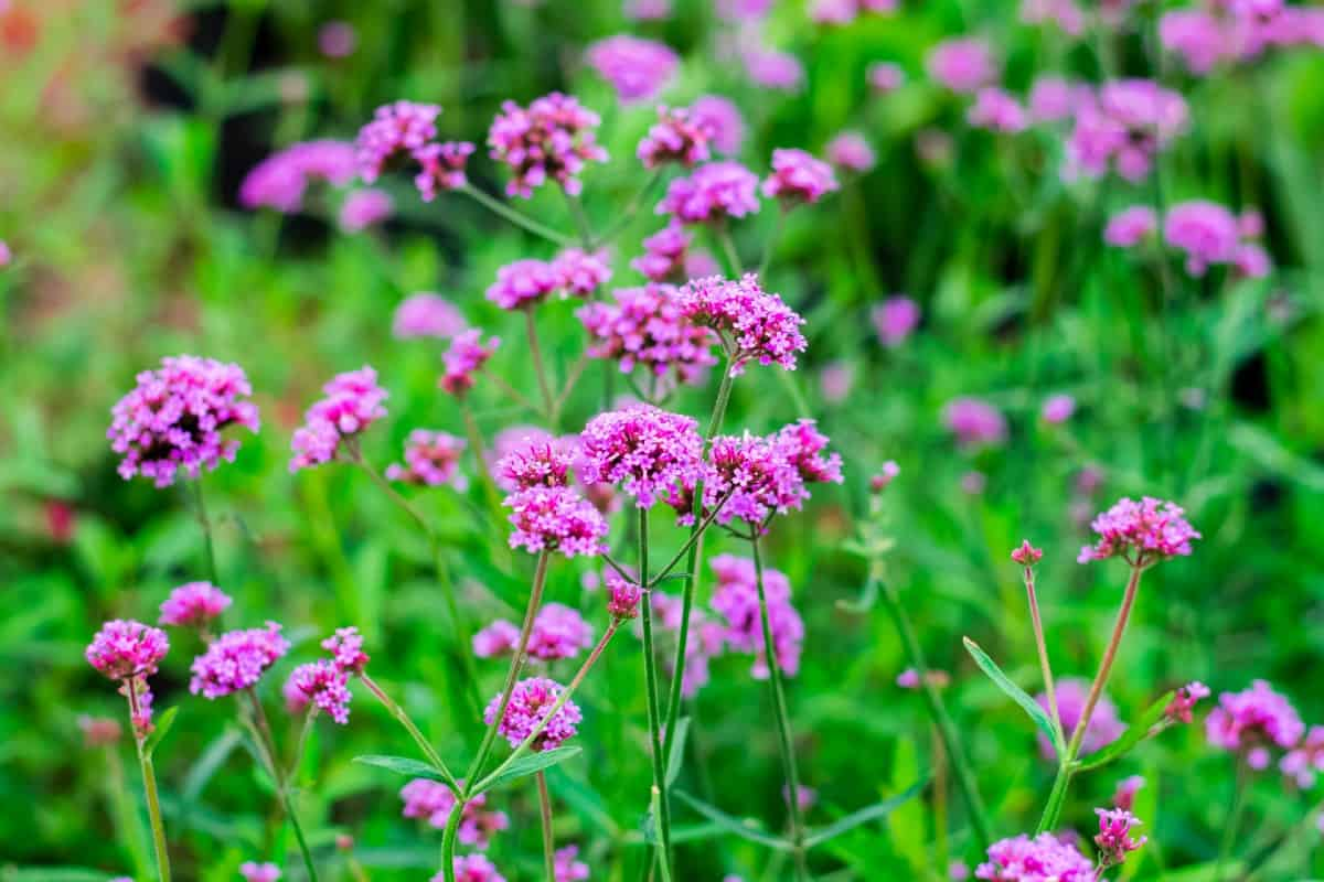 verbena is a popular and eye-catching flower