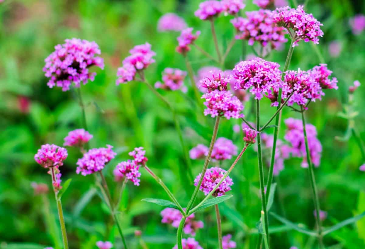 verbena is a great flowering plant for pots
