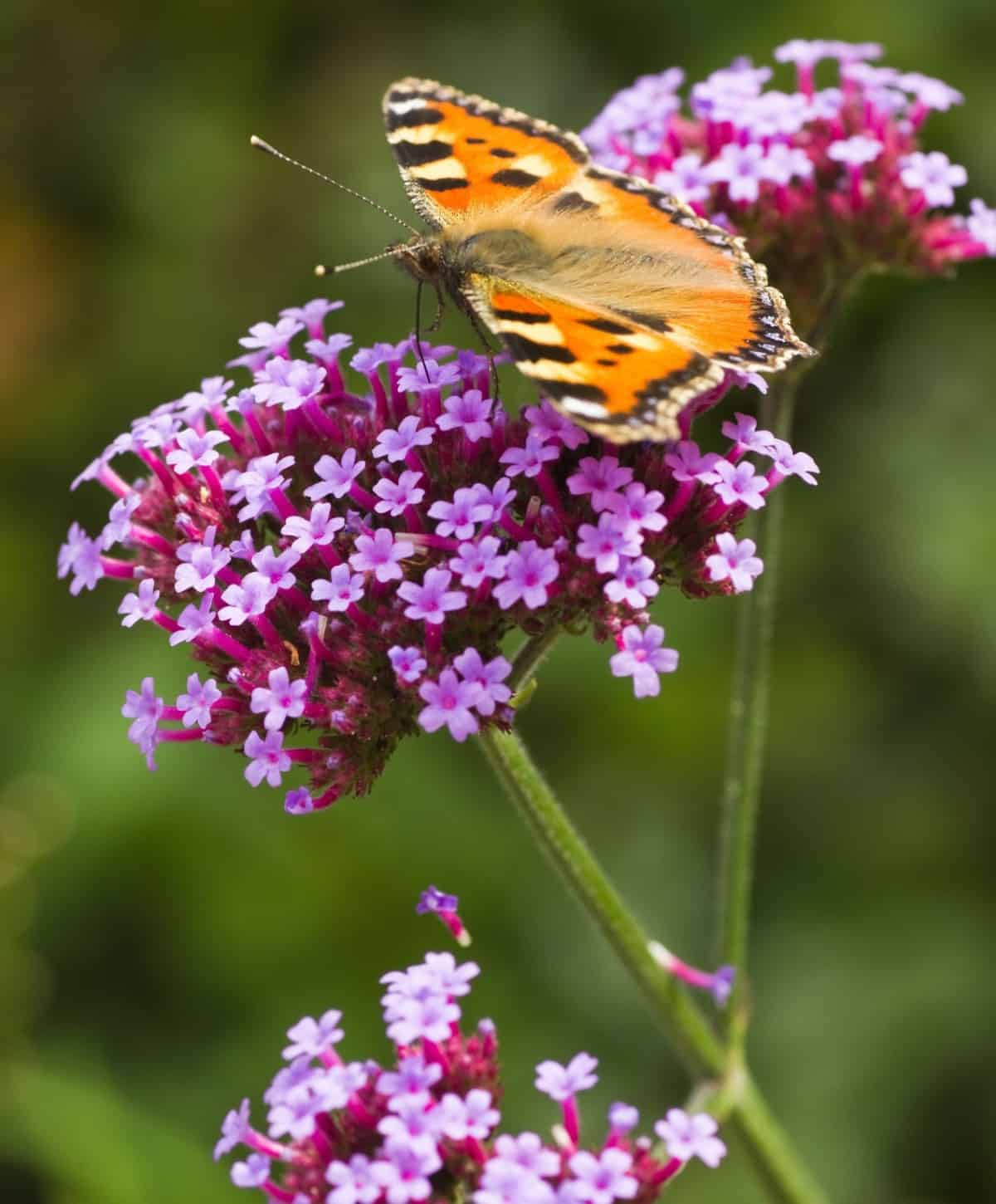 verbena comes in many different color varieties