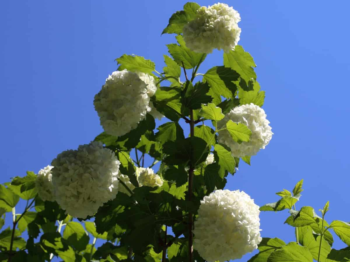 viburnum is the perfect all-season bush