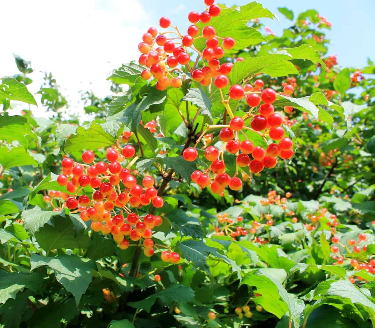 viburnum is a fast grower