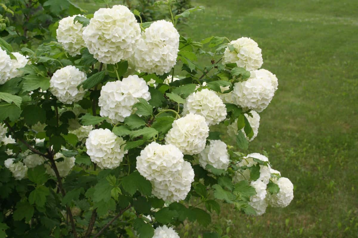 viburnum shrubs have it all - foliage, flowers and fruit