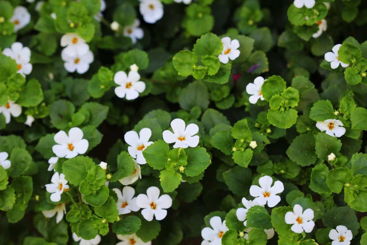 water hyssop is a long-blooming flower