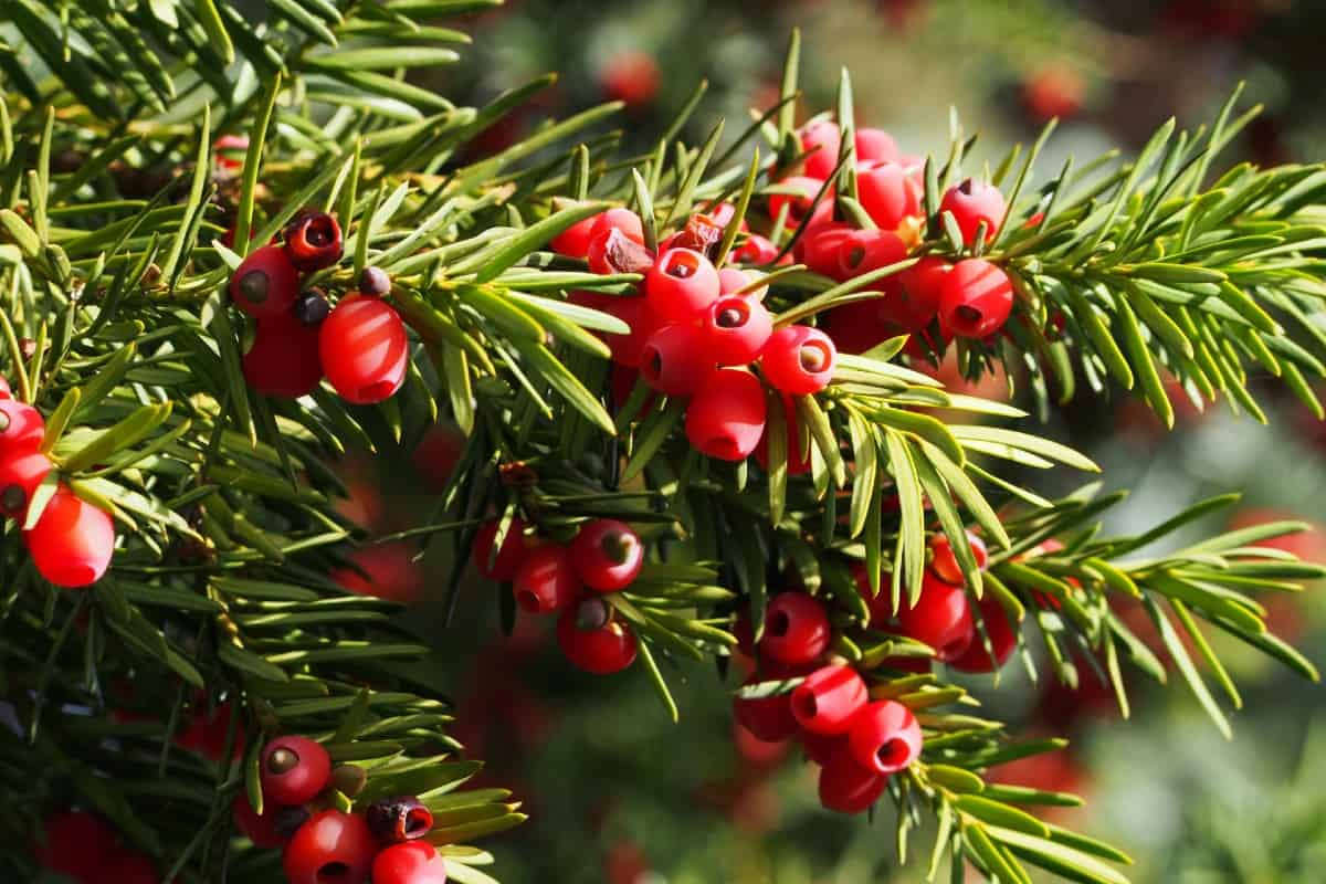 the yew is an evergreen that flowers in late winter