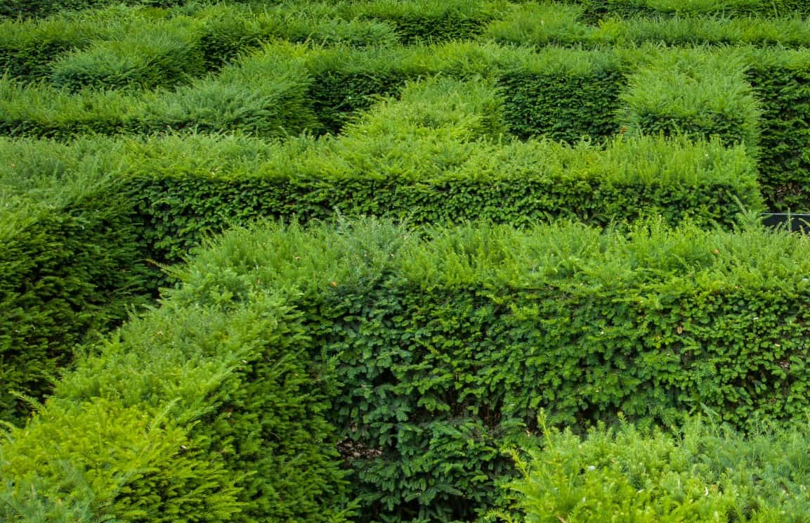 The yew is easy to grow and lives a long time.