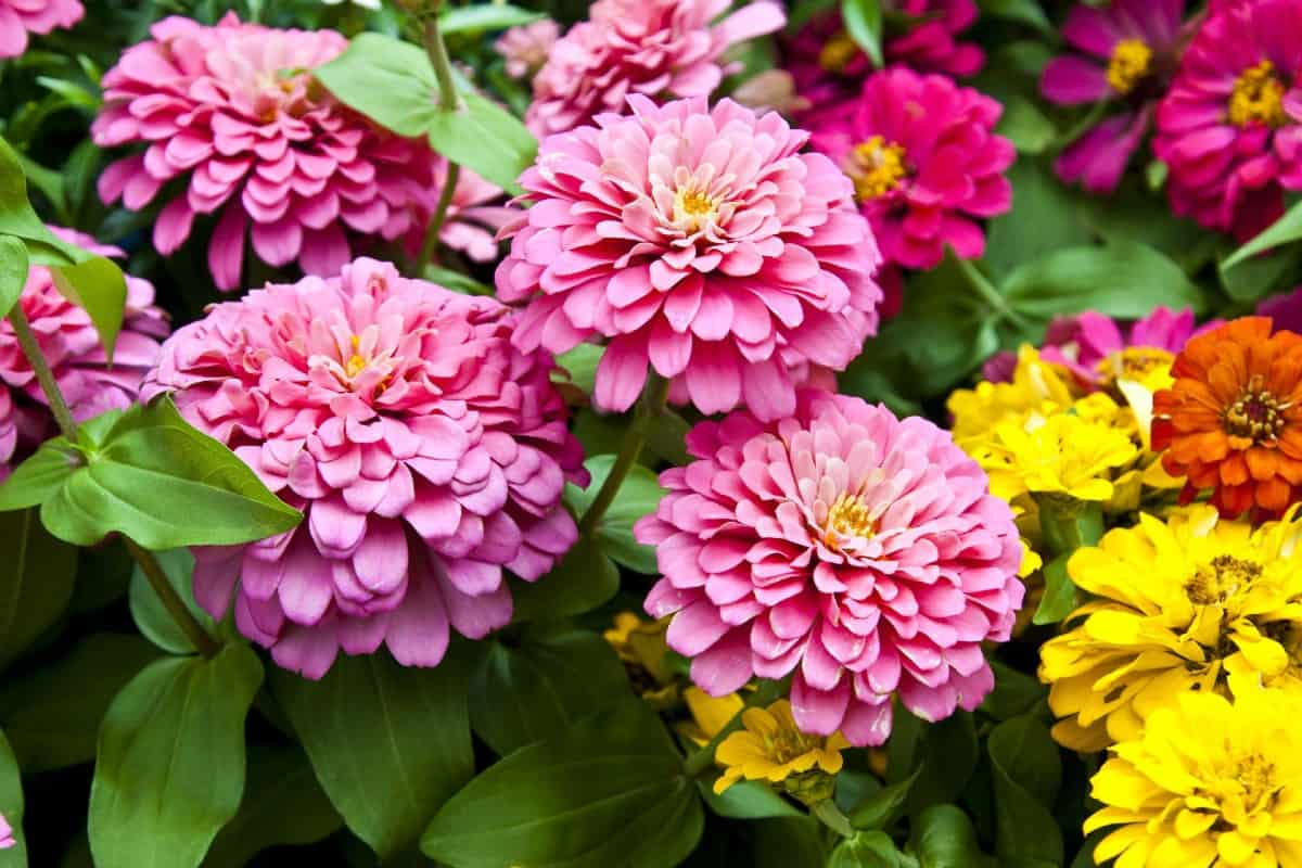 grow zinnias in pots and use them as cut flowers for a gorgeous display
