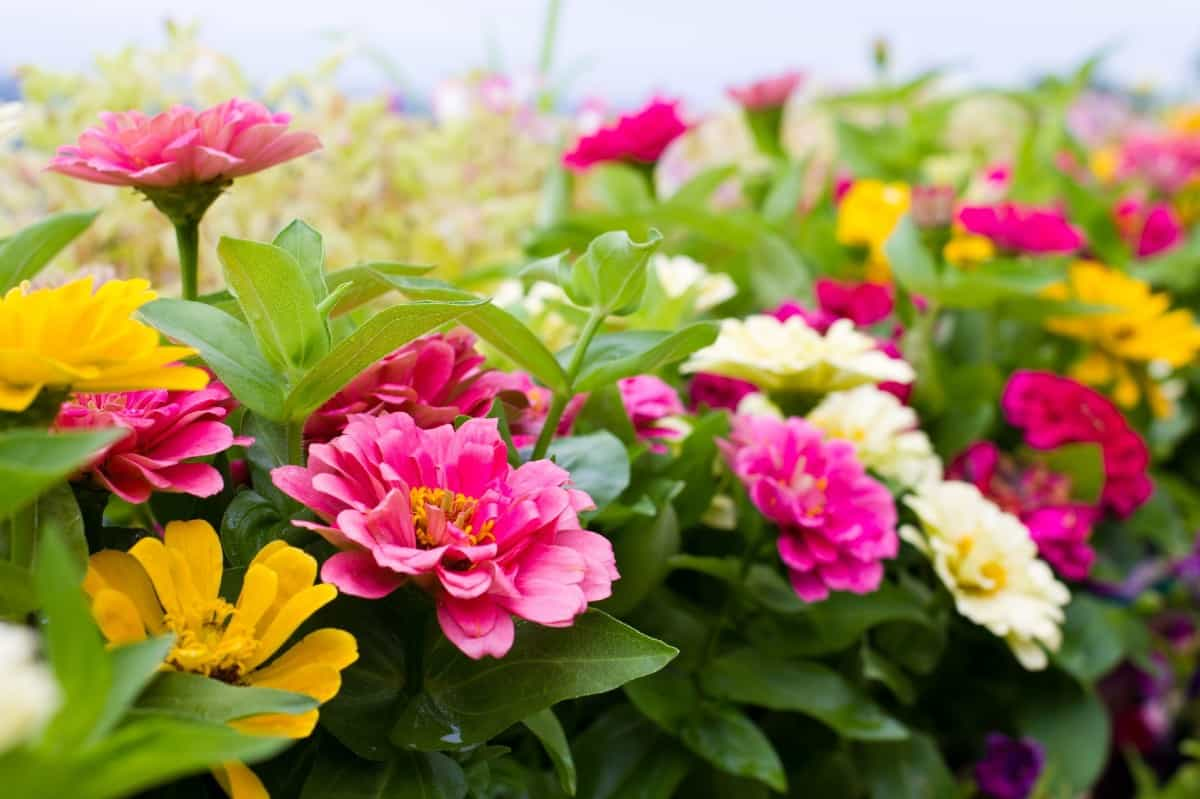zinnias come in a variety of colors and attract butterflies