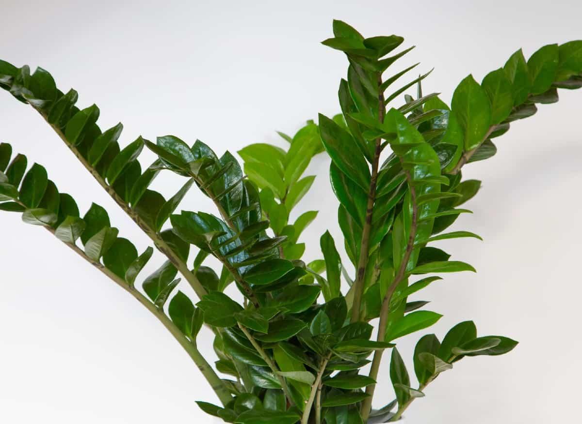 the zz plant has beautiful shiny foliage