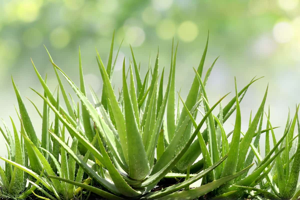 The gel in the leaves of the aloe vera plant has healing properties.