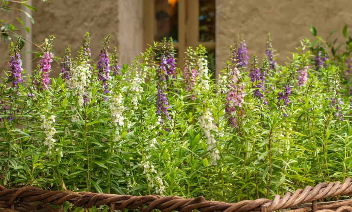 Angelonia is also known as the summer snapdragon.