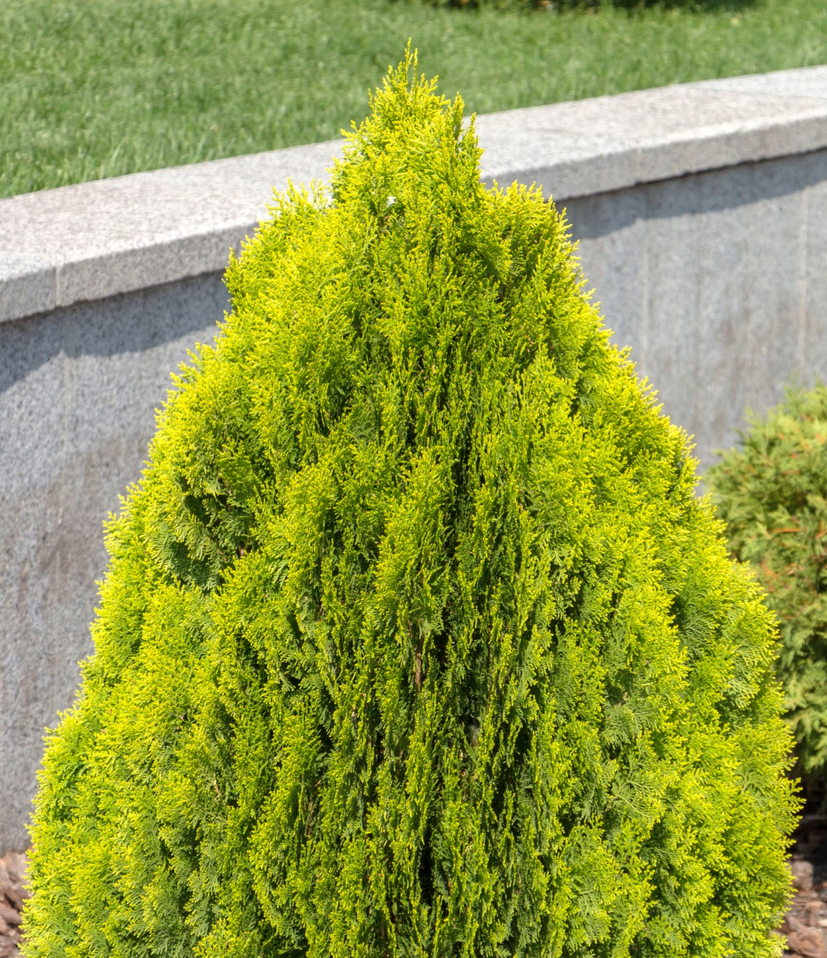 Arborvitae makes an excellent fast-growing border shrub.
