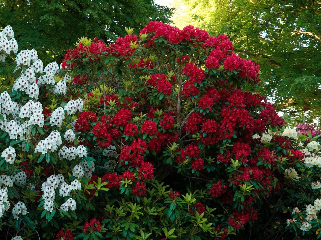 Azaleas are deer-resistant and love partial shade.