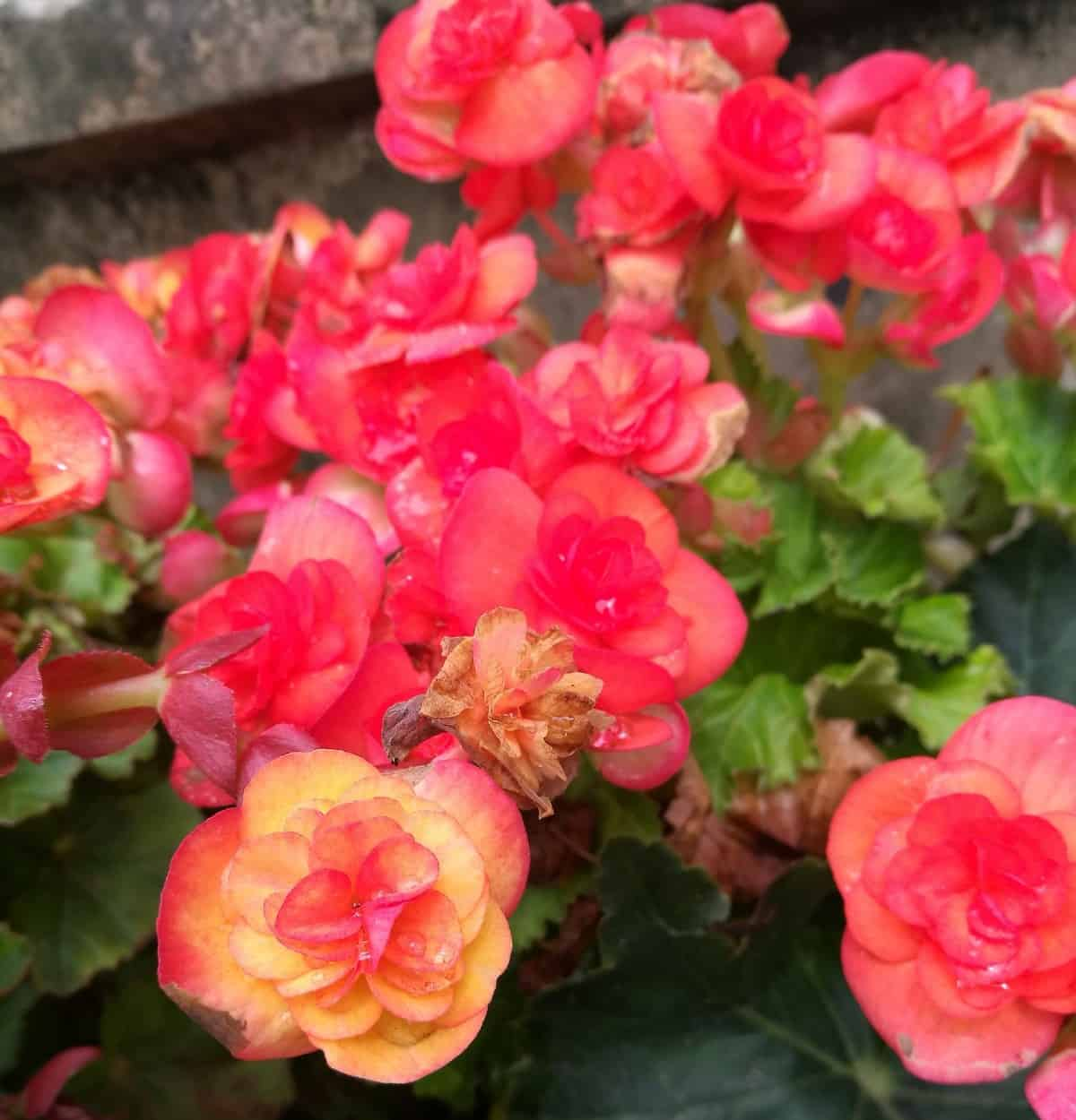 Begonias come in many different beautiful colors.
