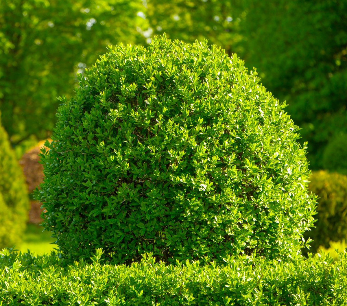The boxwood is a traditional shrub that can be pruned into a variety of different shapes.