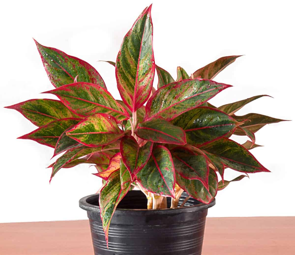 Maintaining an indoor plant like the Chinese evergreen is easy.