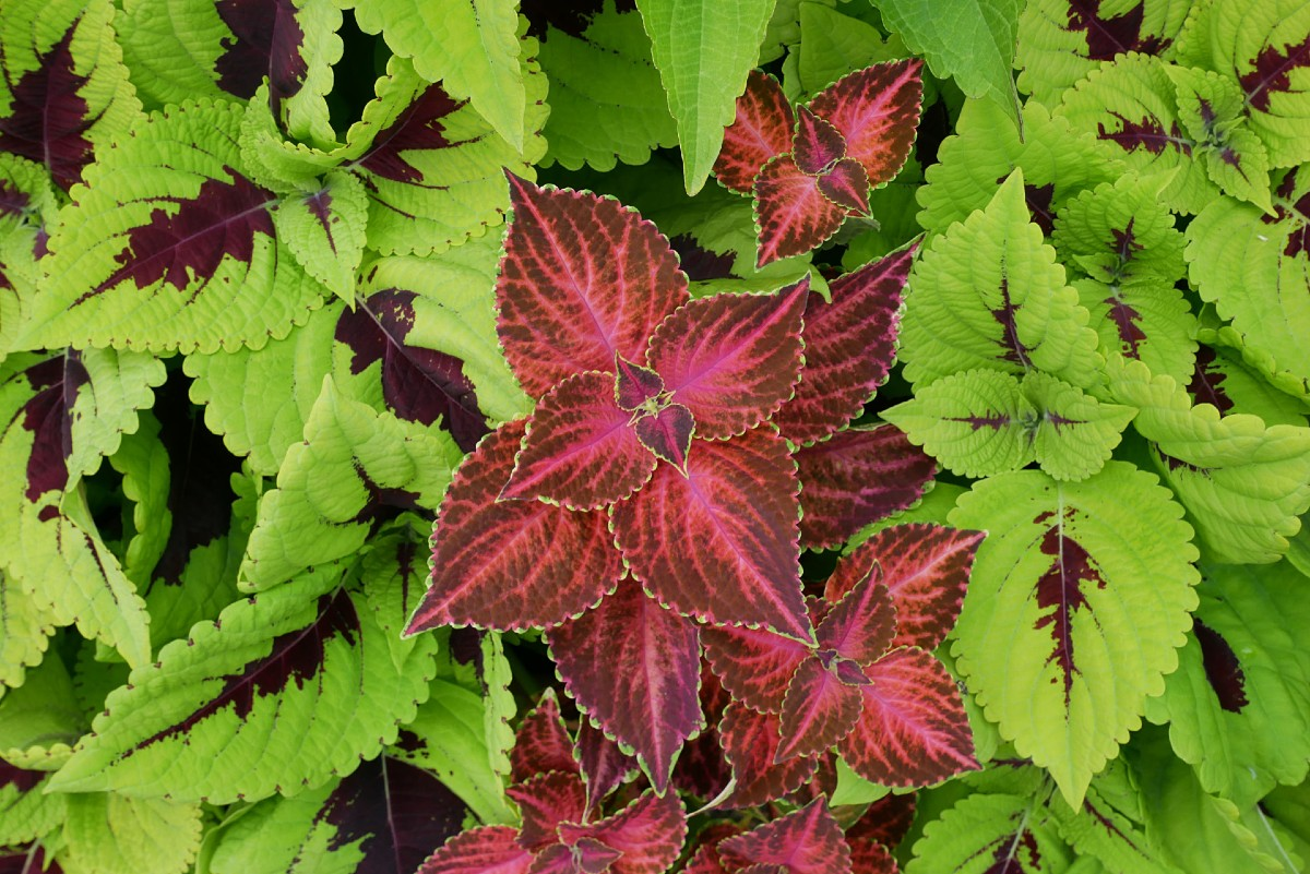 Coleus is a shade-loving container plant.