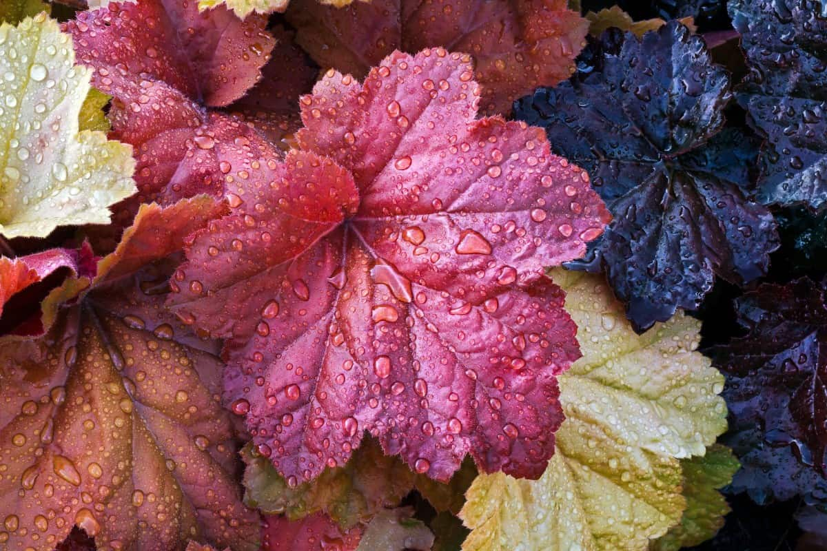 Coral bells have extraordinary leaf colors.