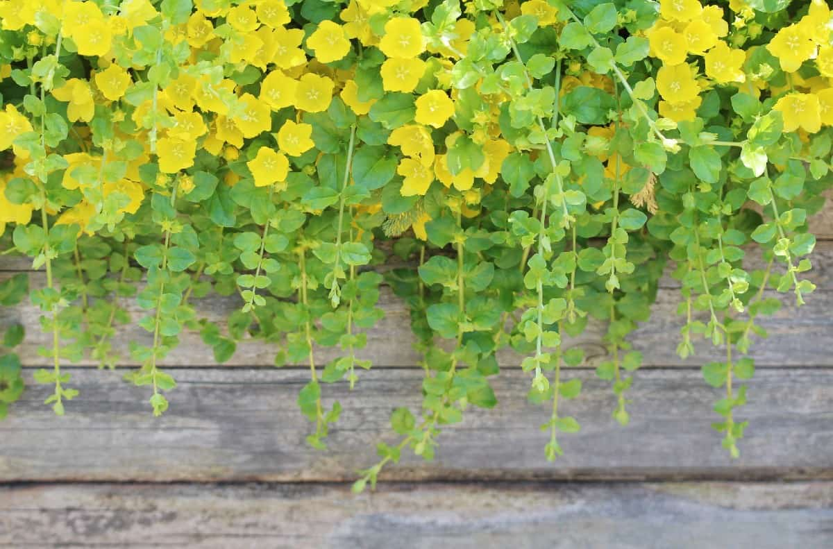Creeping Jenny is a fast-growing container plant.