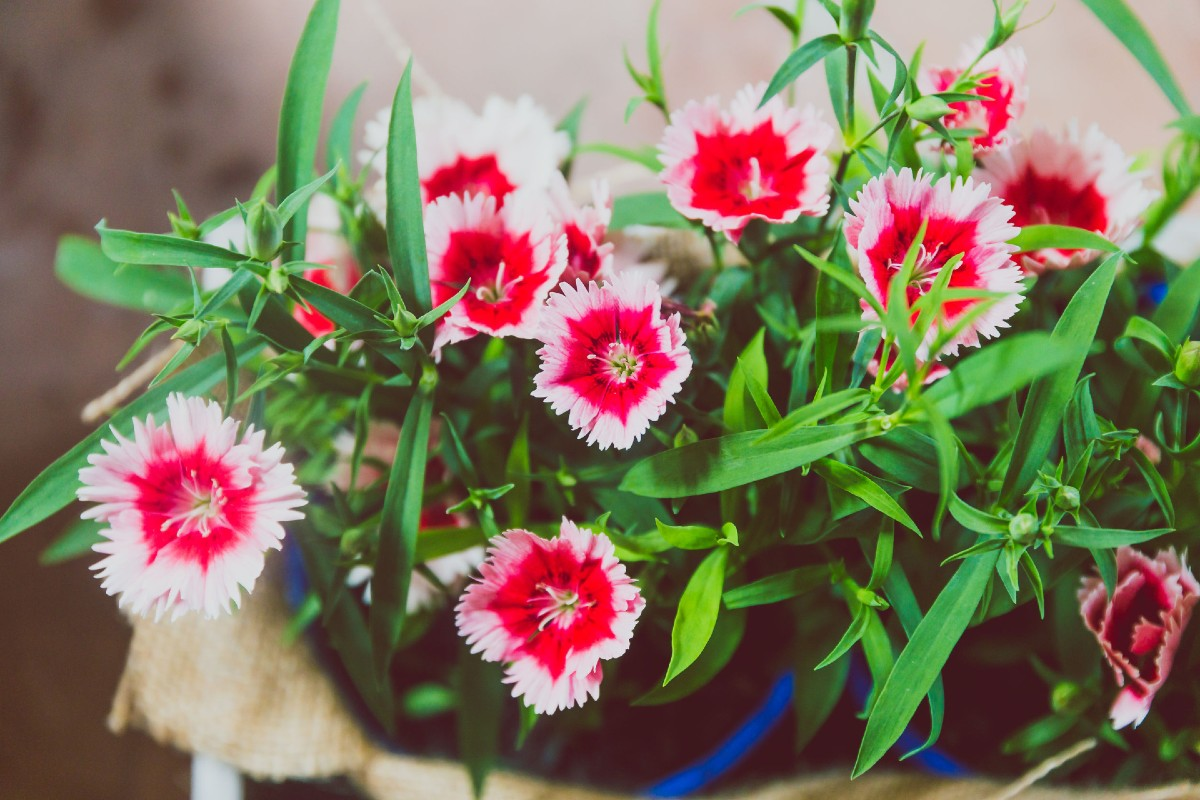Dianthus has pretty star-like flowers that smell lovely.