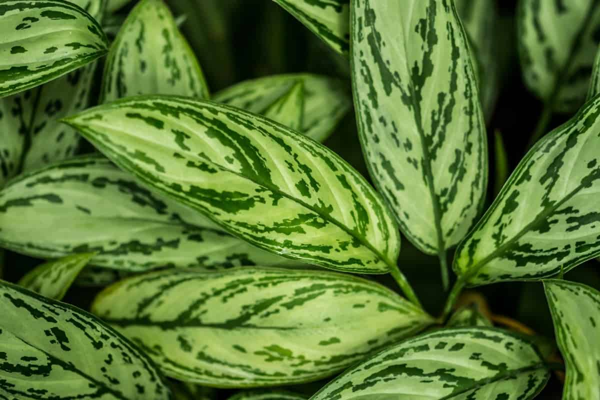 The dumb cane is known for its showy foliage.