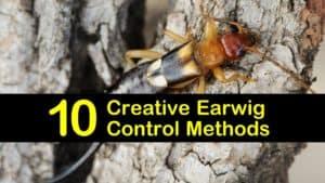 Earwig Control titleimg1
