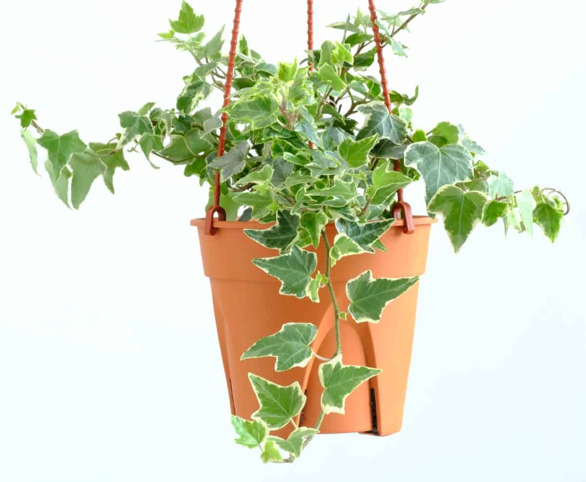English ivy is easy to grow in a hanging basket.