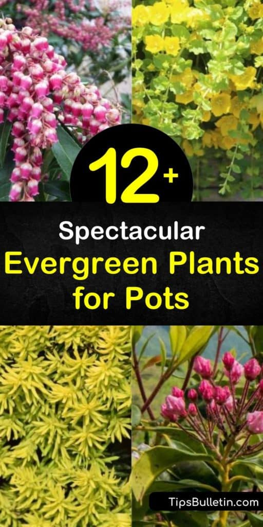 Enjoy colorful and variegated foliage year-round with container gardening. Grow evergreen container plants such as buxus, japonica, and arborvitae in full or partial shade areas of your patio or backyard. #evergreenplants #growinginpots #plants #pots