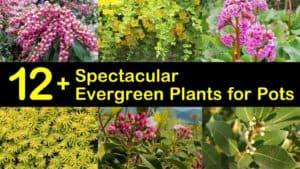 Evergreen Plants for Pots titleimg1
