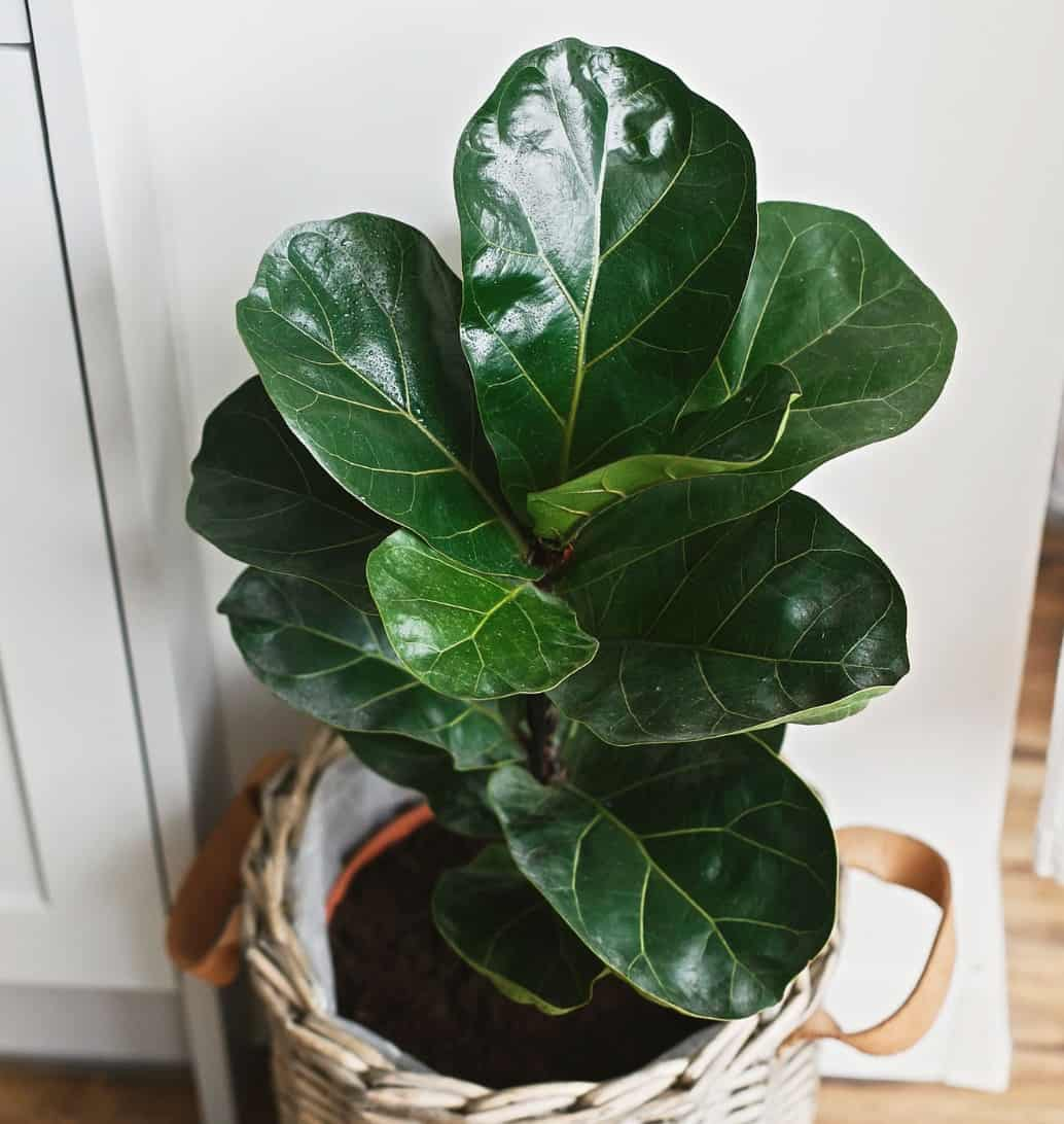 The fiddle leaf fig grows up to 6 feet tall.