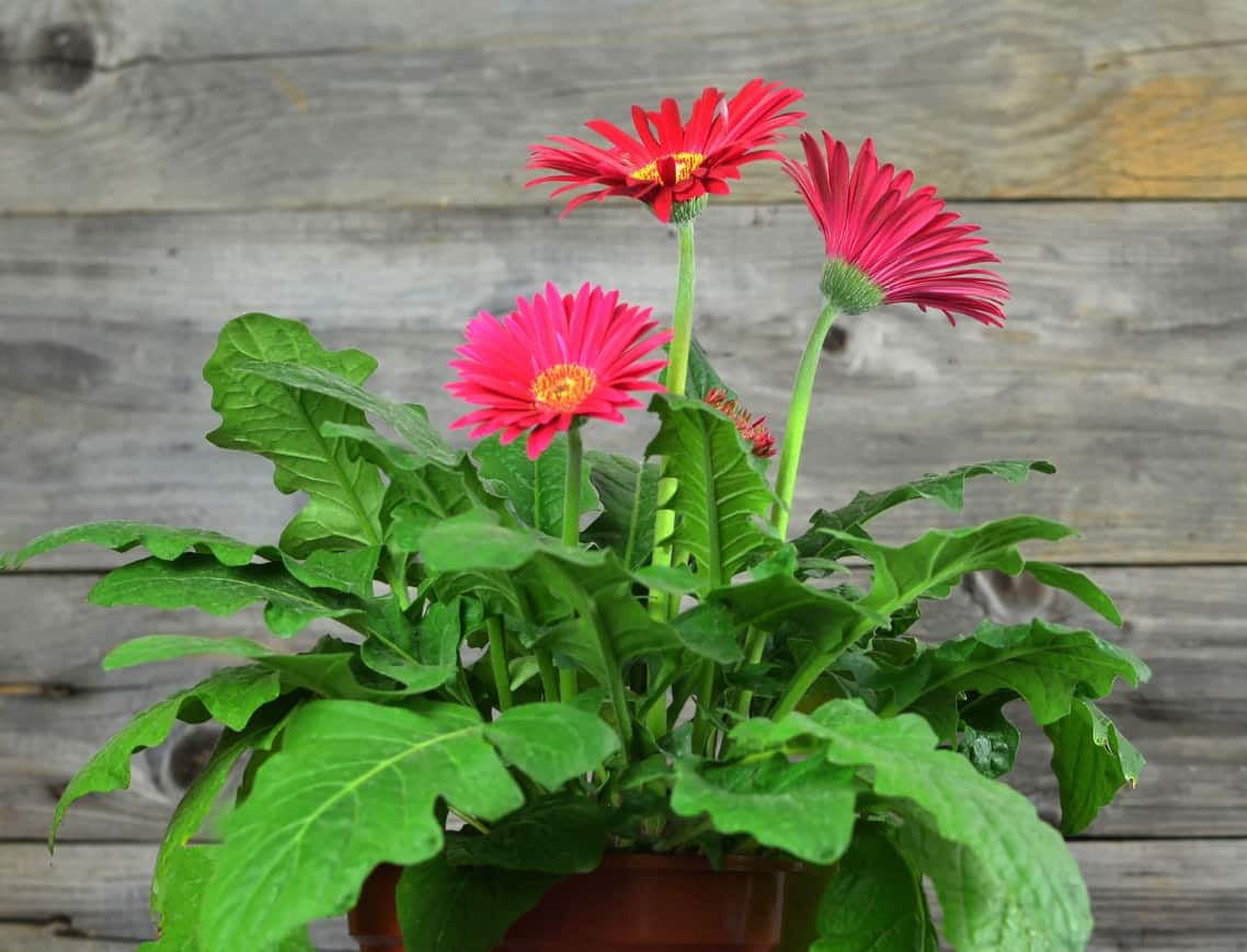 For a bright pop of colorful blooms, grow some Gerbera daisies in pots.