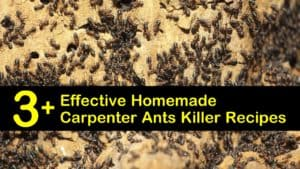 Homemade Carpenter Ants Killer titleimg1