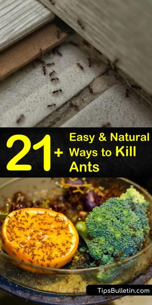 Discover how easy it is to eliminate all types of ants, including carpenter, ants in and around your home. Spread diatomaceous earth, use an ant bait, or make an ant killer spray with peppermint oil, white vinegar, and a spray bottle. #getridofants #ants #natural #antremedy