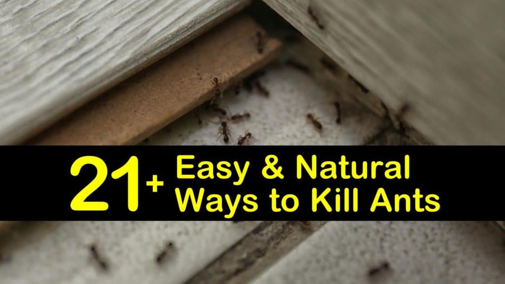 How to Get Rid of Ants Naturally titleimg1