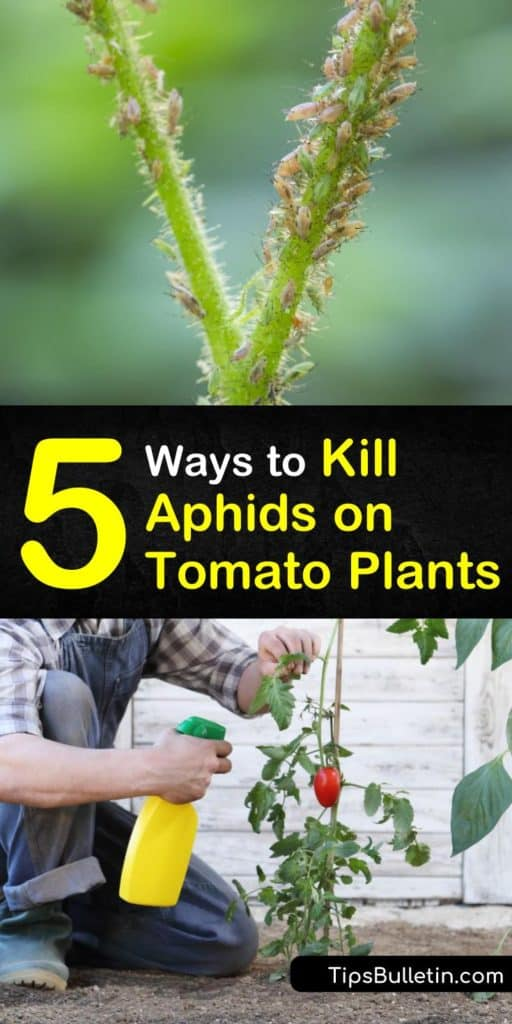 Learn how to get rid of aphids on tomatoes using DIY insecticidal soap. Add beneficial insects and plants that counteract aphid infestations naturally. Create a neem oil or tomato spray that eliminates pests and promotes aphid control. #aphids #tomatoes #pestcontrol