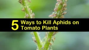 How to Get Rid of Aphids on Tomatoes titleimg1