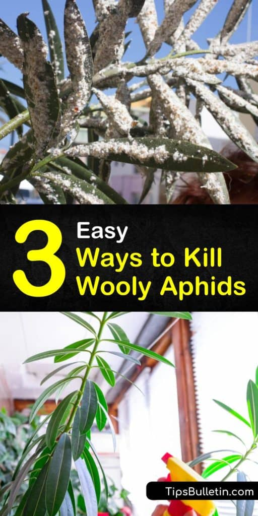 Control an aphid infestation with neem oil or make a homemade insecticide soap. Control aphid populations with predators such as parasitic wasps or natural enemies such as lacewings and ladybugs. #woollyaphids #getridofwoollyaphids #preventingwoollyaphids