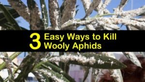 How to Get Rid of Wooly Aphids titleimg1