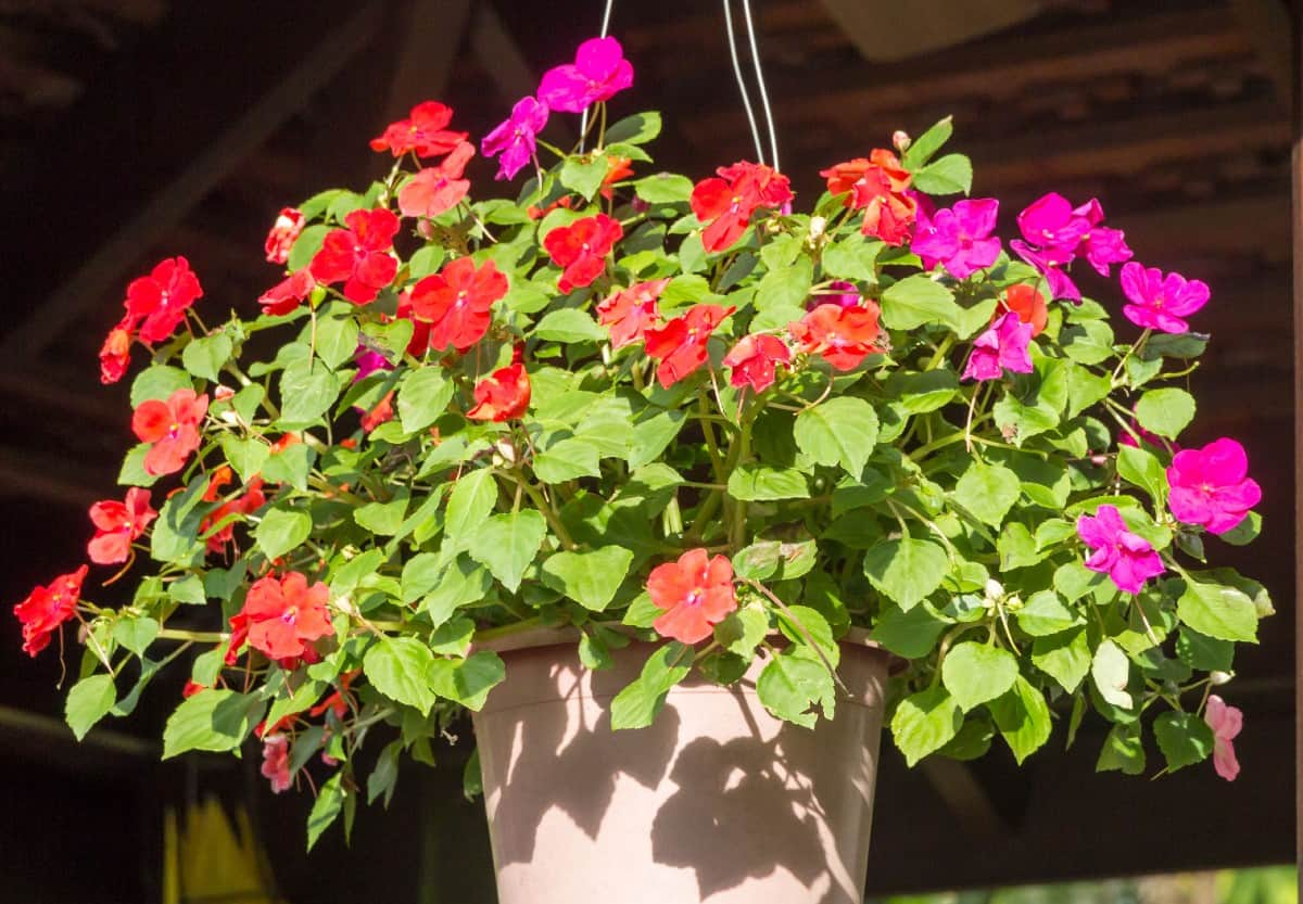 Impatiens is one of the best known flowers for containers.