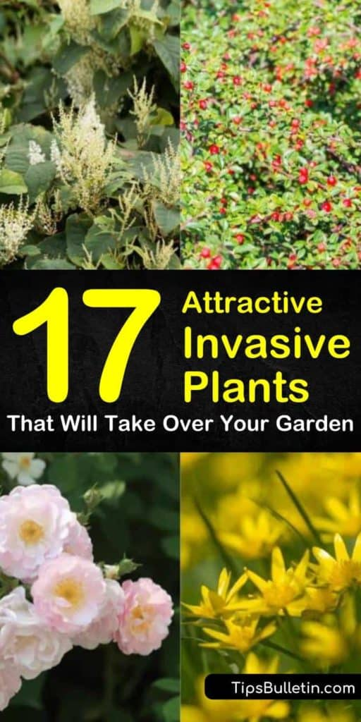 Find out how to get rid of invasive plant species from your gardens and yards. Our guide shows you the weeds to avoid and points out the perennials and vines that can take over your landscape. Make your flowers and plants in pots beautiful again with our help! #invasiveplants #weedcontrol #invasive
