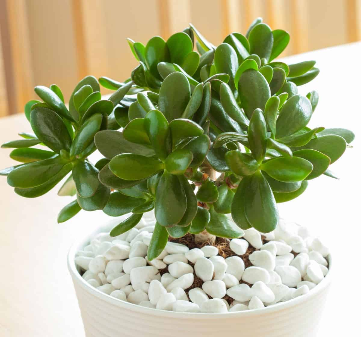 As a succulent, the jade plant is ideal for indoor settings.